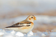 Snow Bunting. Plectrophenax nivalis. Stock Photos