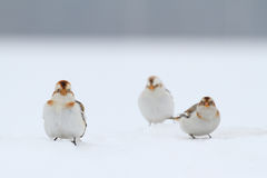 Snow Bunting. Plectrophenax nivalis. Stock Photography