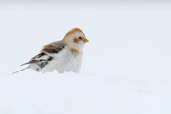 Snow Bunting. Plectrophenax nivalis. Royalty Free Stock Photo