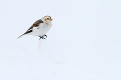 Snow Bunting. Plectrophenax nivalis. Stock Image