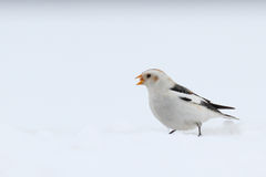 Snow Bunting. Plectrophenax nivalis. Royalty Free Stock Images