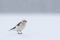 Snow Bunting. Plectrophenax nivalis. Royalty Free Stock Photos