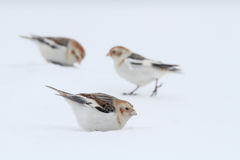 Snow Bunting. Plectrophenax nivalis. Stock Images