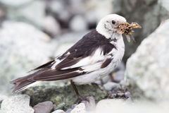 Snow Bunting, Plectrophenax nivalis in breeding plumage, Iceland. (insects in beak Royalty Free Stock Image
