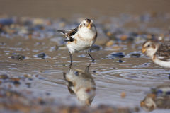 Snow bunting Stock Images