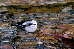 Snow bunting, Plectrophenax nivalis Royalty Free Stock Photos