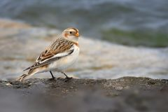 Snow Bunting Plectrophenax nivalis sitting on the seaside. Snow Bunting Plectrophenax nivalis sitting on the ground in the tundra, Norway, Finland, Sweden Stock Image
