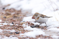 Snow Bunting Plectrophenax nivalis Stock Images