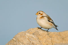 Snow Bunting - Plectrophenax nivalis Royalty Free Stock Photography