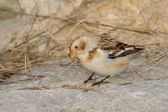 Snow Bunting - Plectrophenax nivalis Stock Image