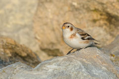 Snow Bunting - Plectrophenax nivalis Royalty Free Stock Photo