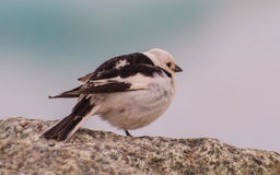Snow bunting Royalty Free Stock Image