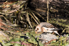 Snow Bunting Searches for Food Royalty Free Stock Photo