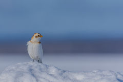 Snow bunting Stock Photography