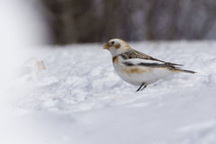 Snow Bunting in winter Royalty Free Stock Image