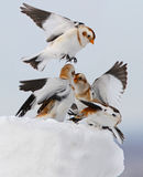 Snow Buntings Stock Photo