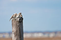 Snow Buntings Royalty Free Stock Photo
