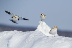 Snow Buntings Royalty Free Stock Photos