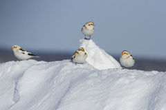 Snow Buntings Stock Photography