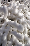 Snow on the bush Royalty Free Stock Images