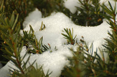 Snow Bush. Bush in winter Royalty Free Stock Images