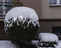 Snow on Bush Stock Photo