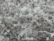 Snow Bush. Freshly snow fallen on bush stock images