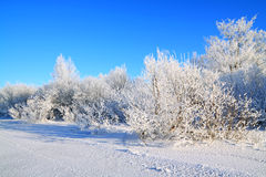 Snow bushes Royalty Free Stock Photos