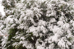 Snow on bushes. Snow cover on green bushes in winter Stock Image