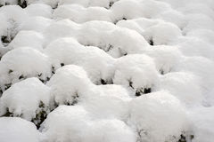 Snow on the bushes. Lot of snow on the small bushes Royalty Free Stock Images