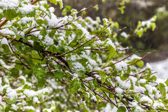 Snow on the bushes in May, Minsk, Belarus. Snow on the bushes in May, Minsk, Belarus Stock Photography