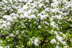 Snow on the bushes in 11 May 2017, Minsk, Belarus. Snow on the bushes in 11 May 2017, Minsk, Belarus Stock Photos