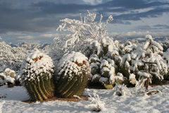 Snow Cactus. Sunrise over snowcovered cactus in the Arizona desert Royalty Free Stock Image