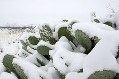 Snow on a Cactus Stock Photos