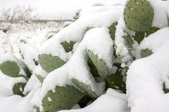 Snow on a Cactus Royalty Free Stock Image