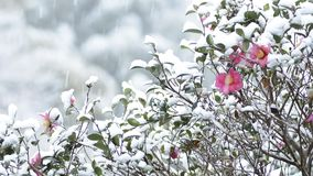 Snow and camellia sasanqua stock video