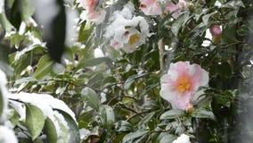 Snow and camellia sasanqua stock footage