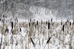 Snow on a cane, lake in forest. Royalty Free Stock Image