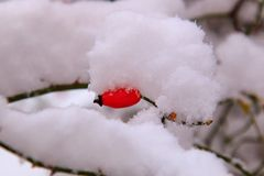 Snow cap of white fluffy snow on branches and orange hips of wild rose in winter close macro.  stock photos