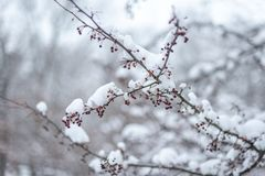 Snow capped branch with red berries. Snow covered branch with red berries in winter woods royalty free stock images