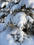 Snow-capped fir twigs Royalty Free Stock Image