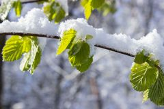 Snow Capped Leaves on Branch at Daytime Stock Photo