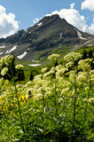 Snow capped mountain and cow parsnip. Stock Images