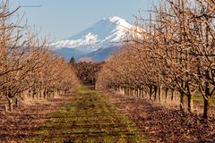 Snow Capped Mountain in Oregon. Snow capped mountain looking through the orchard trees in Northern Oregon Royalty Free Stock Photography