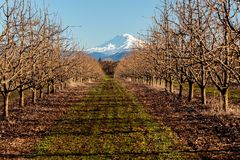 Snow Capped Mountain in Oregon. Snow capped mountain looking through the orchard trees in Northern Oregon Stock Image