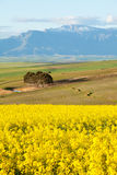 Snow capped mountain range overlooking yellow canola fields Stock Images
