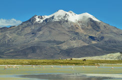 Snow capped mountain  in salar de Surire national park. Snow capped mountain with flamingos and lamas grazing in the base on Salar de Surire national park, Chile Stock Image