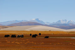 Snow-capped mountain, yarks and plateau. Stock Image