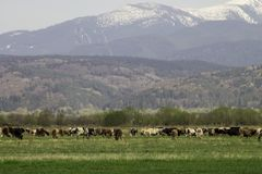 Snow capped mountains and green meadow with cows Stock Images