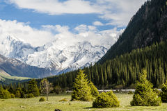Snow-capped mountains. And the pines, photoed in Xinjiang of China Stock Image